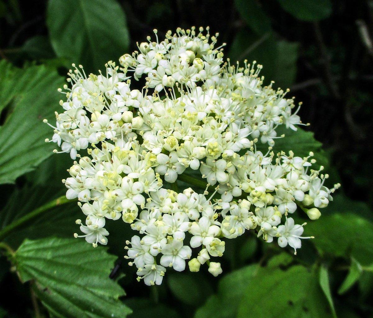 14. Smooth arrowwood (Viburnum dentatum)