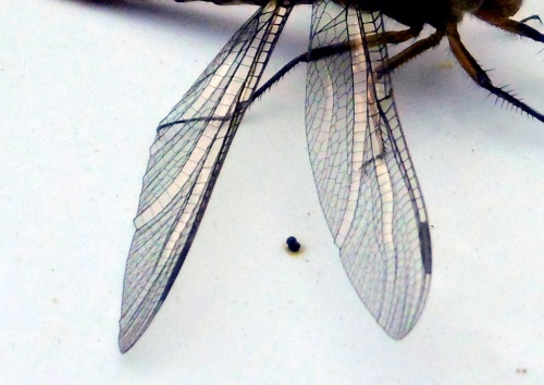 15. Dragonfly wings