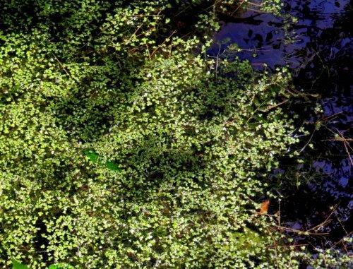 15. Duckweed