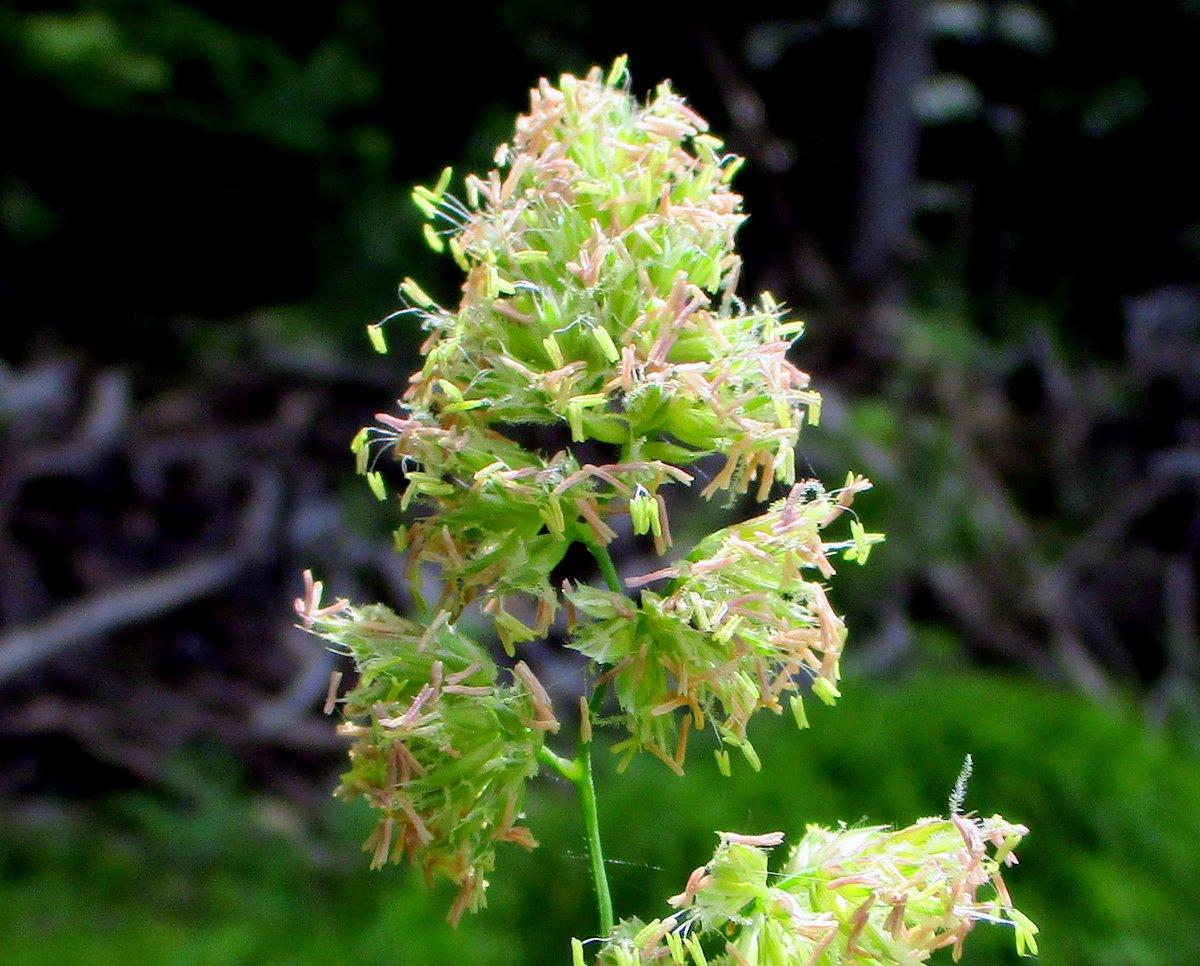 15. Orchard Grass