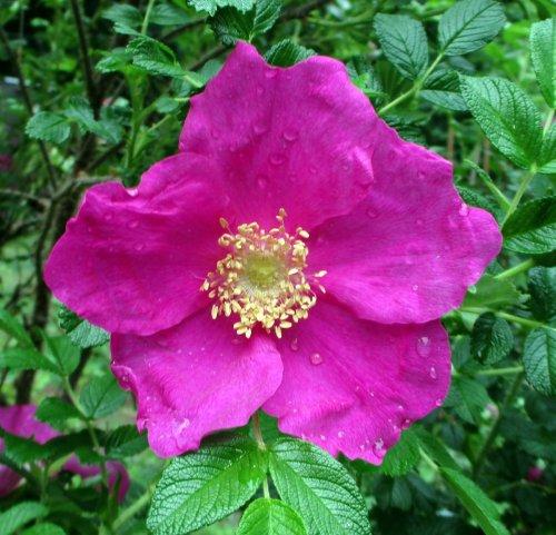15. Rose