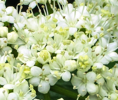 15. Smooth arrowwood (Viburnum dentatum)