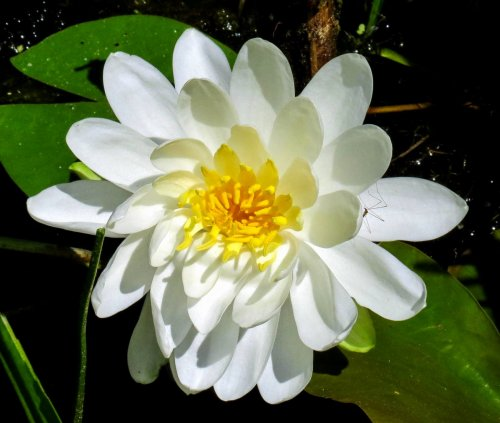 16. Fragrant White Waterlily