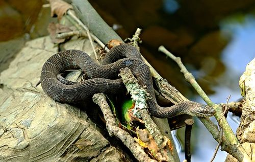 16. Northern Water Snake by Wikipedia