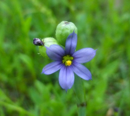 17. Blue Eyed Grass