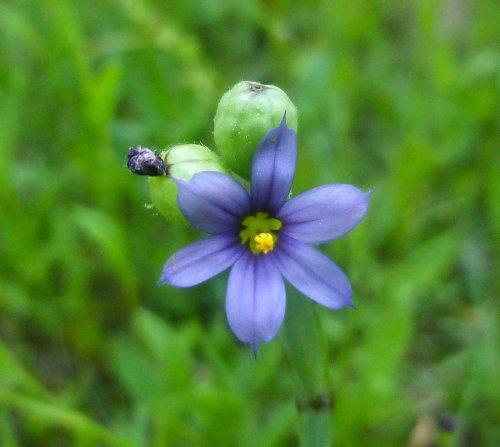 17. Blue Eyed Grass
