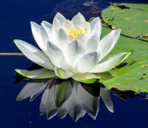 17. Fragrant White Waterlily