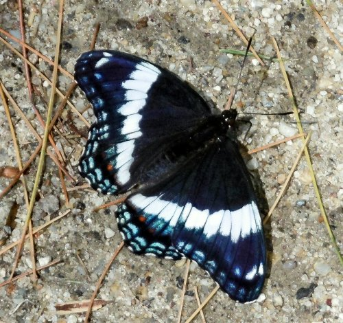 17. White Admiral Butterfly