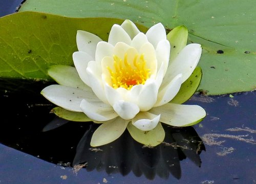 17. White Water Lily