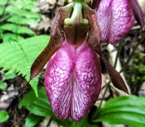 18. Lady's Slipper