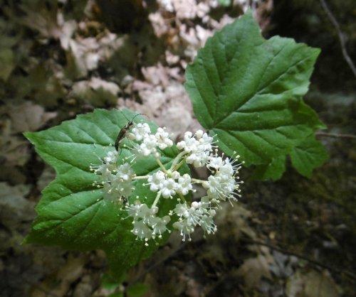 18. Maple Leaf Viburnum