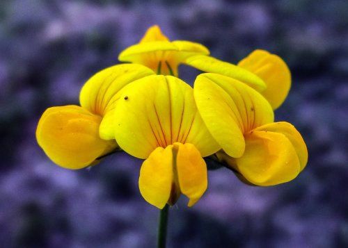 2. Bird's Foot Trefoil