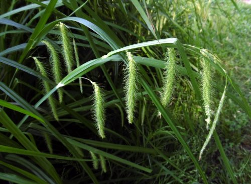2. Fringed Sedge