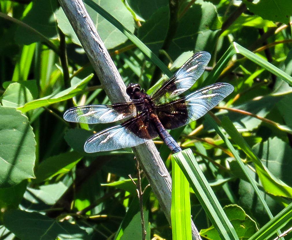 2. Widow Skimmer Dragonfly