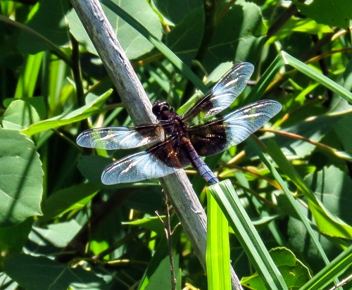 2. Widow Skimmer Dragonfly