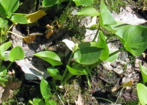 20. Wild Calla aka Calla palustris