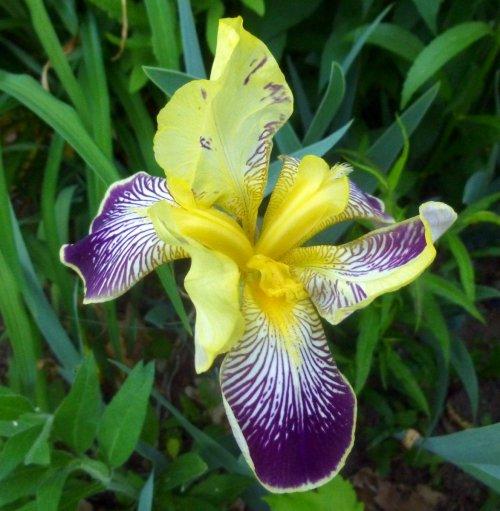 3. Iris