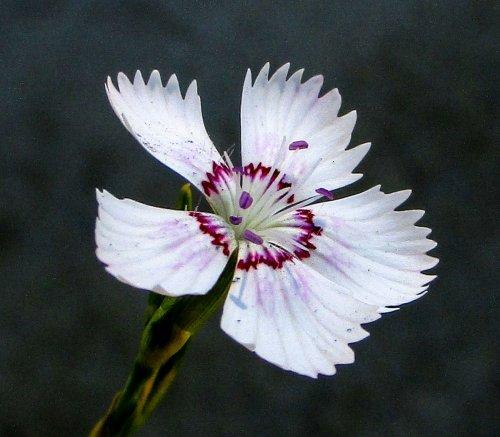 3. Maiden Pink