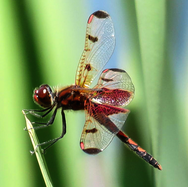 3. Possible Eastern Amberwing