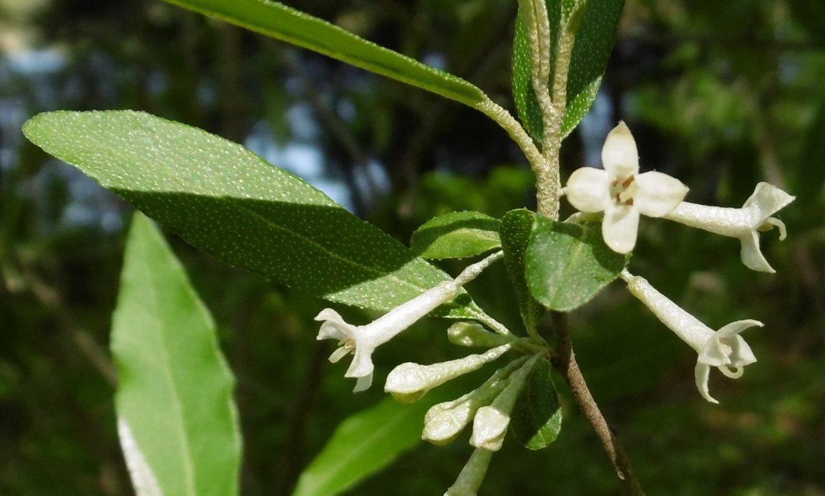 4. Autumn Olive