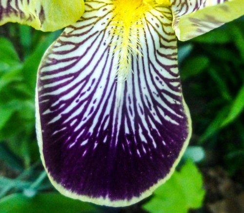 4. Iris petal