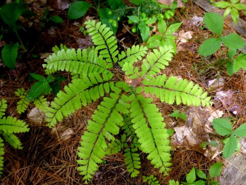 4. Maidenhair Fern