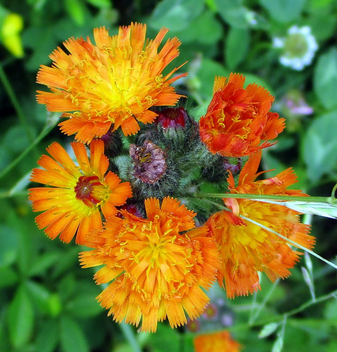 4. Orange Hawkweed