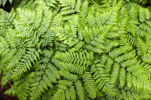 5. Bracken Ferns