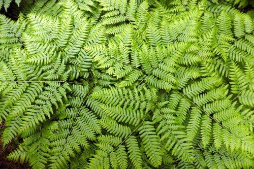 5. Bracken Ferns