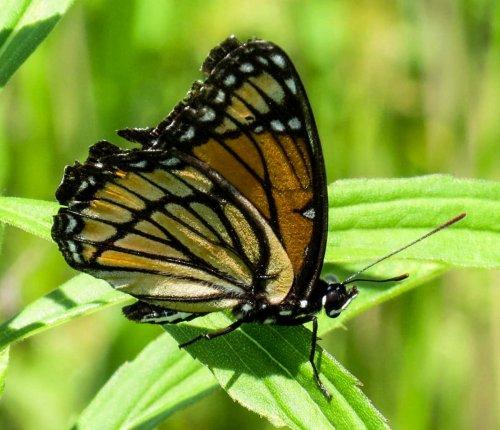 5. Viceroy Butterfly
