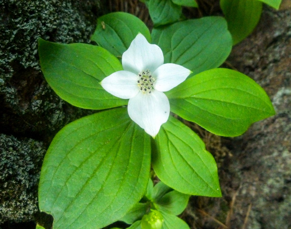 6. Bunchberry
