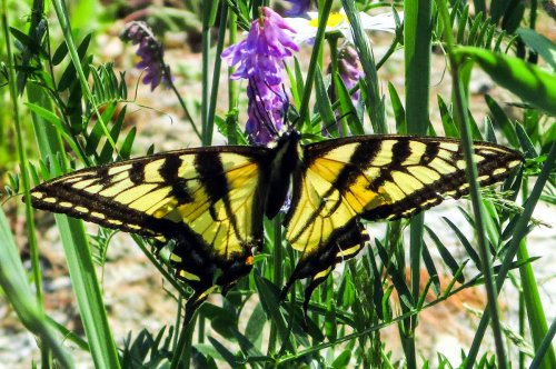 6. Eastern Tiger Swallowtail