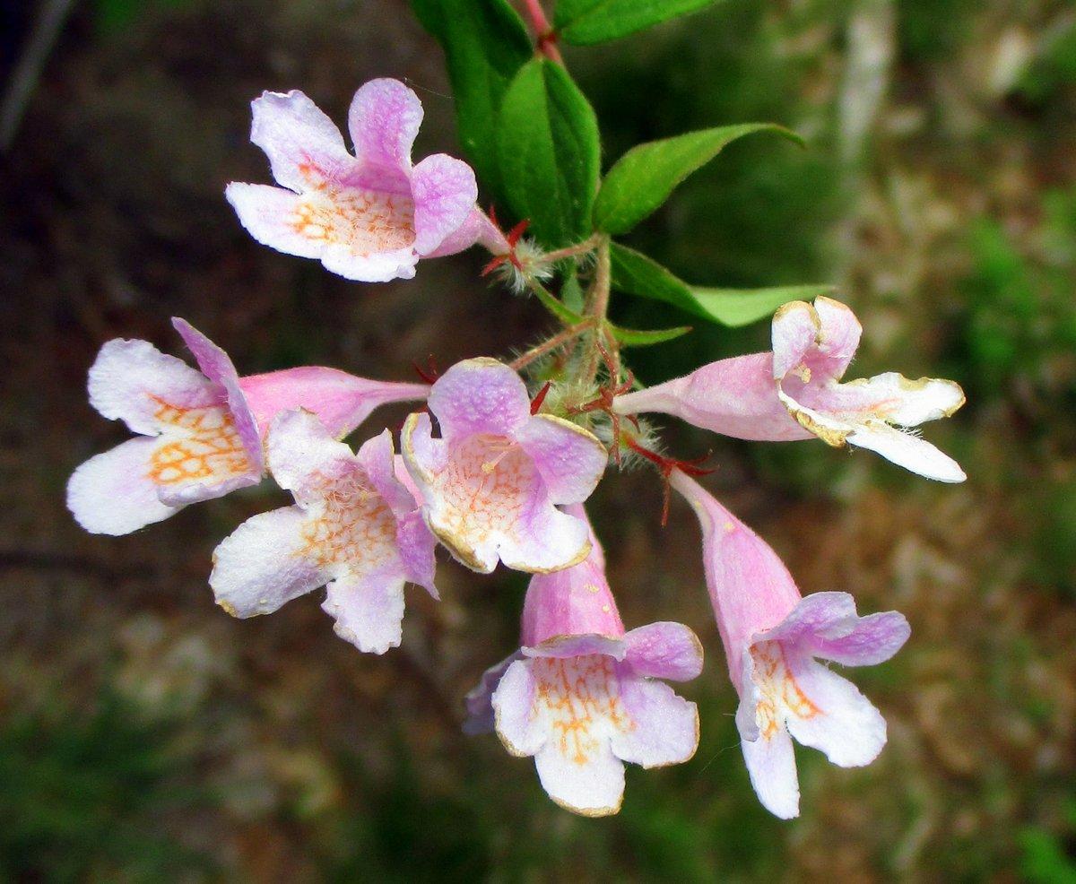 7. Beauty Bush