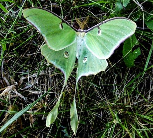 7. Luna Moth