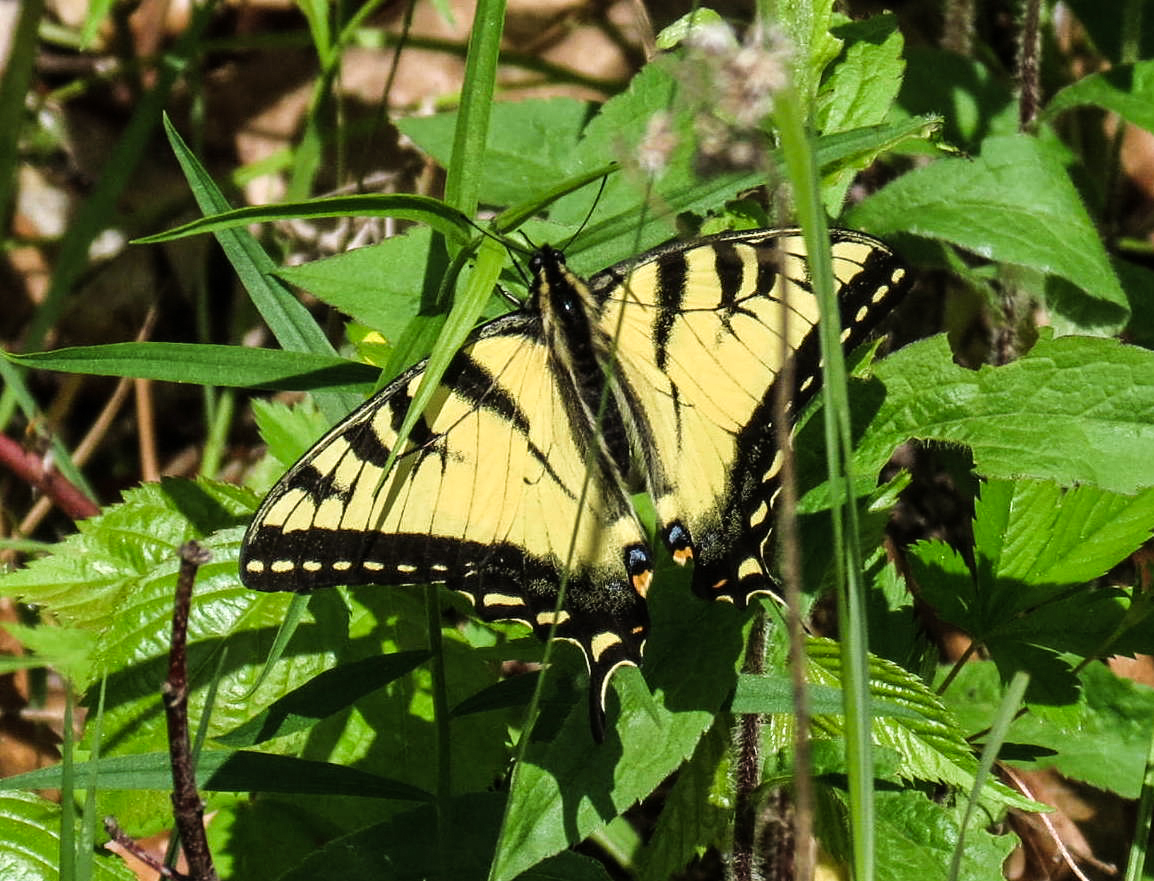 8. Eastern Tiger Swallowtail