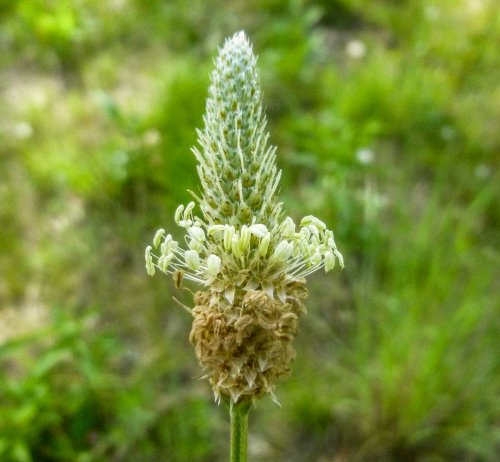 9. English Plantain