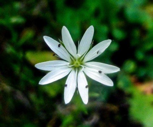 9. Lesser Stitchwort (Stellaria graminea)