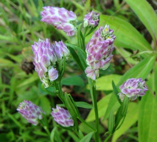 10. Field Milkwort