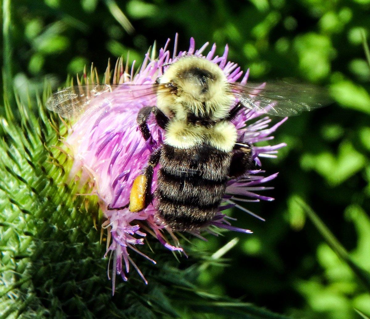 11. Bumblebee on Thistle