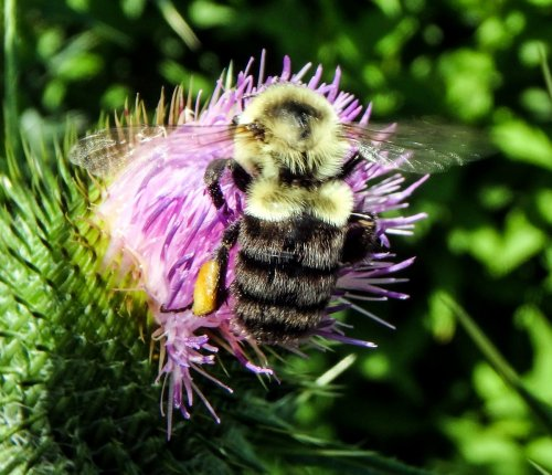 11. Bumblebee on Thistle