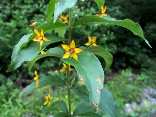 11. Whorled Loosestrife