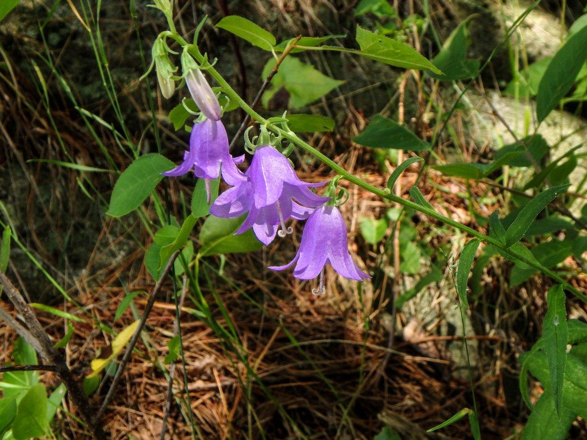 12. Creeping bellflower