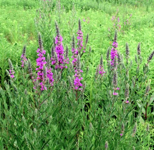 12. Purple Loosestrife