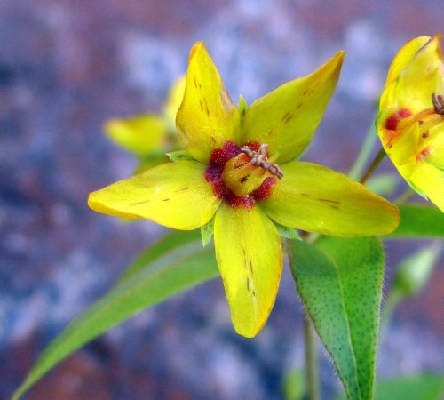 12. Whorled Loosestrife