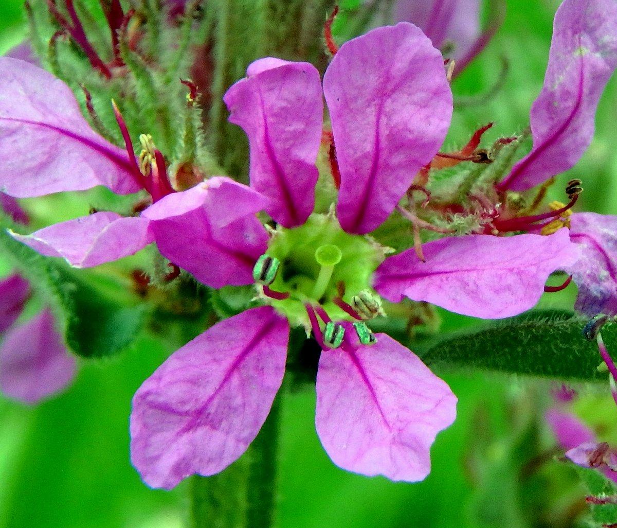 13. Purple Loosestrife