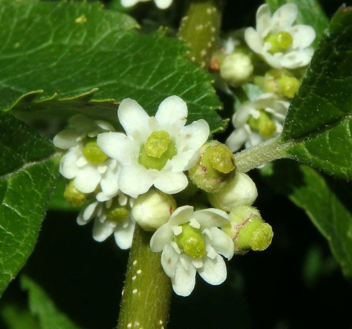 13. Winterberry