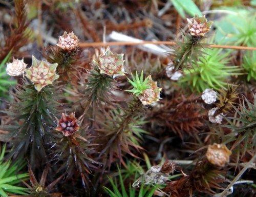14. Juniper Haircap Moss