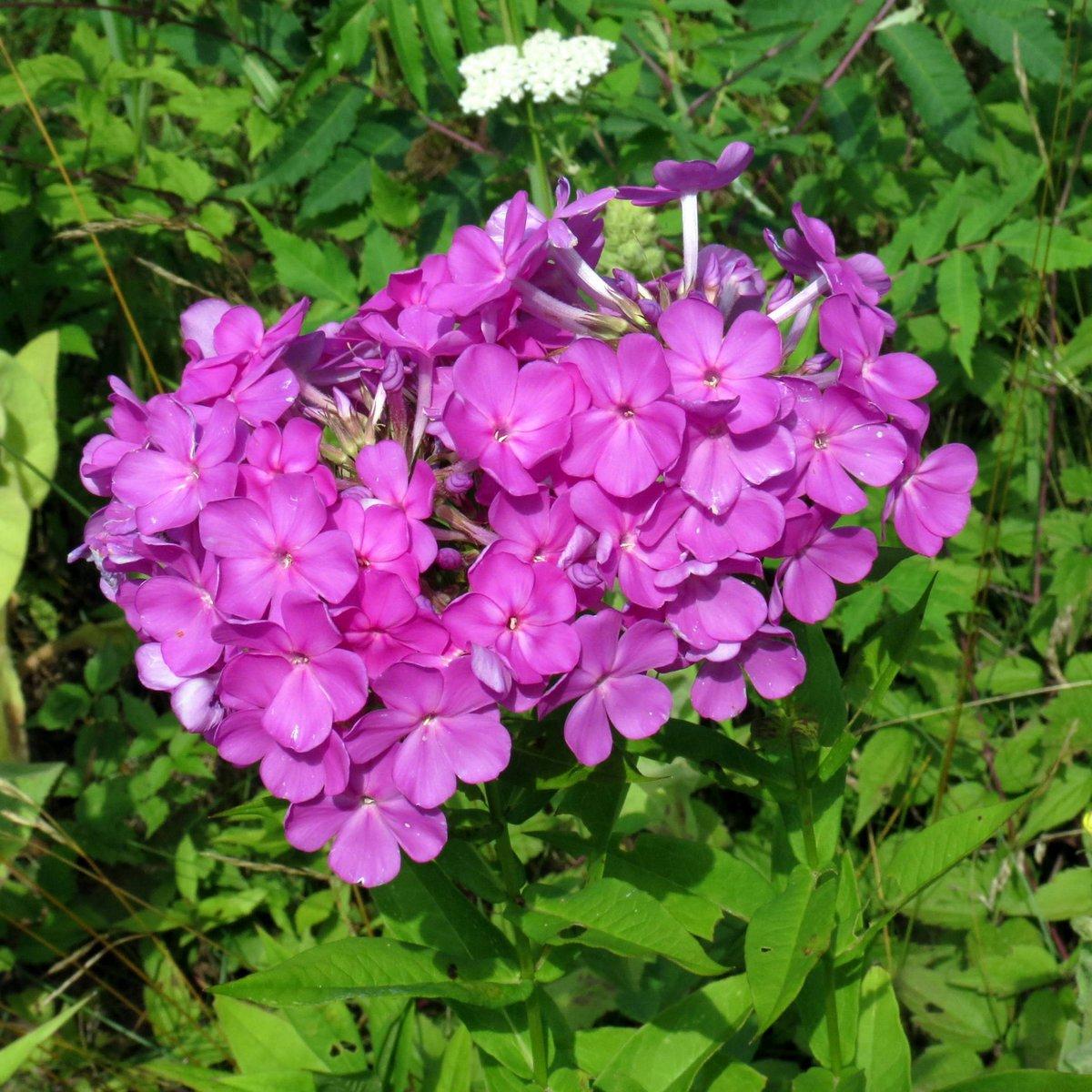 14. Purple Phlox