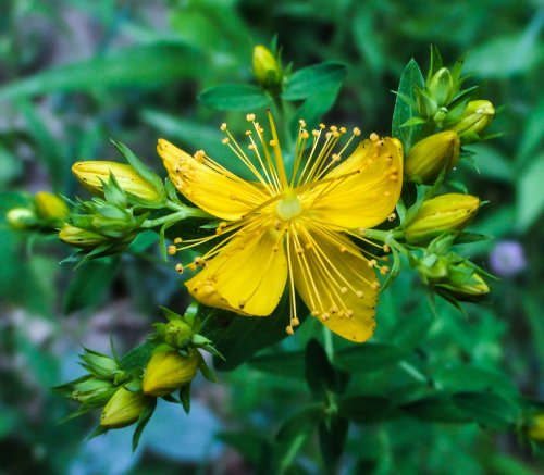 15. St. Johnswort