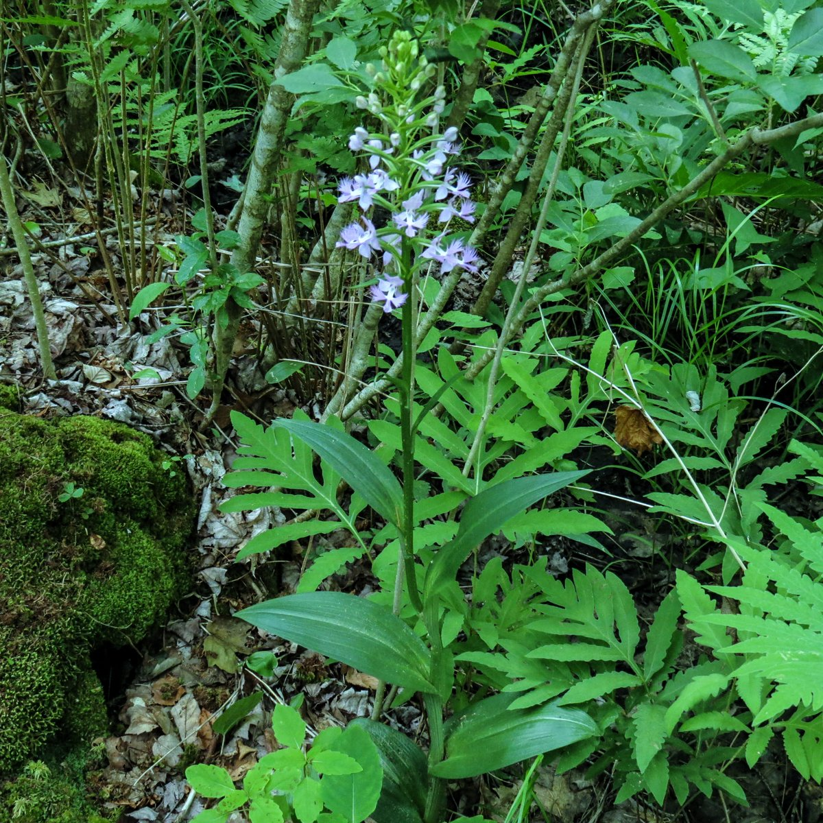 16. Purple Fringed Orchid